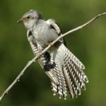طائر الوقواق وحياة أنواع طائر الوقواق صور ميكس 38