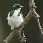 طائر الوقواق وحياة أنواع طائر الوقواق صور ميكس 40