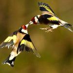 صور عصافير خلفيات عصفور معلومات كاملة عن العصافير 10
