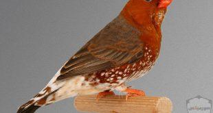 صور عصافير HD أحلي خلفيات عصافير الحب 1