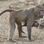 قرد تعرف على حياة القرود وأنوعها صور ميكس 42