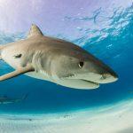 قرش تعرف على حياة القرش وأنواعة صور ميكس 18