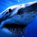 قرش تعرف على حياة القرش وأنواعة صور ميكس 22