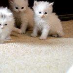 قطط 2019 أنواع القطط ومعلومات الفصائل صور ميكس 12