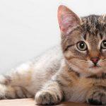 قطط 2019 أنواع القطط ومعلومات الفصائل صور ميكس 13