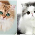 قطط 2019 أنواع القطط ومعلومات الفصائل صور ميكس 14