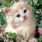 قطط 2019 أنواع القطط ومعلومات الفصائل صور ميكس 17