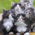 قطط 2019 أنواع القطط ومعلومات الفصائل صور ميكس 19