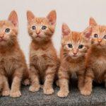 قطط 2019 أنواع القطط ومعلومات الفصائل صور ميكس 21