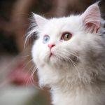 قطط 2019 أنواع القطط ومعلومات الفصائل صور ميكس 23