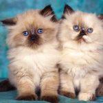 قطط 2019 أنواع القطط ومعلومات الفصائل صور ميكس 24