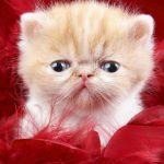 قطط 2019 أنواع القطط ومعلومات الفصائل صور ميكس 25