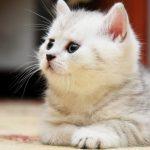 قطط 2019 أنواع القطط ومعلومات الفصائل صور ميكس 26