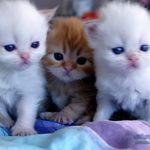 قطط 2019 أنواع القطط ومعلومات الفصائل صور ميكس 28