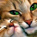 قطط 2019 أنواع القطط ومعلومات الفصائل صور ميكس 3