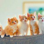 قطط 2019 أنواع القطط ومعلومات الفصائل صور ميكس 30