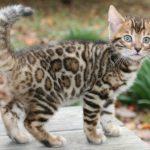 قطط 2019 أنواع القطط ومعلومات الفصائل صور ميكس 31