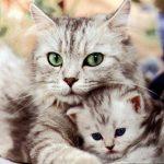 قطط 2019 أنواع القطط ومعلومات الفصائل صور ميكس 33