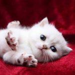 قطط 2019 أنواع القطط ومعلومات الفصائل صور ميكس 34