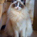 قطط 2019 أنواع القطط ومعلومات الفصائل صور ميكس 9