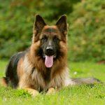 كلاب 2019 أنواع الكلاب ومميزتها صور ميكس 2