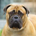 كلاب 2019 أنواع الكلاب ومميزتها صور ميكس 23
