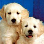 كلاب 2019 أنواع الكلاب ومميزتها صور ميكس 28