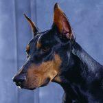 كلاب 2019 أنواع الكلاب ومميزتها صور ميكس 32