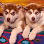 كلاب 2019 أنواع الكلاب ومميزتها صور ميكس 37