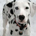 كلاب 2019 أنواع الكلاب ومميزتها صور ميكس 39