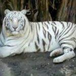 نمر 2019 معلومات النمور كاملة صور ميكس 10