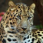 نمر 2019 معلومات النمور كاملة صور ميكس 12