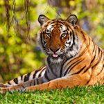 نمر 2019 معلومات النمور كاملة صور ميكس 13