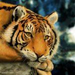 نمر 2019 معلومات النمور كاملة صور ميكس 14