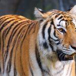 نمر 2019 معلومات النمور كاملة صور ميكس 15