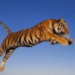 نمر 2019 معلومات النمور كاملة صور ميكس 16