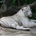 نمر 2019 معلومات النمور كاملة صور ميكس 17