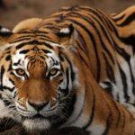 نمر 2019 معلومات النمور كاملة صور ميكس 18