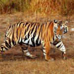 نمر 2019 معلومات النمور كاملة صور ميكس 19