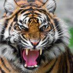 نمر 2019 معلومات النمور كاملة صور ميكس 2