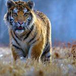 نمر 2019 معلومات النمور كاملة صور ميكس 20