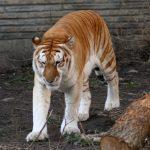 نمر 2019 معلومات النمور كاملة صور ميكس 23