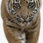 نمر 2019 معلومات النمور كاملة صور ميكس 24