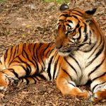 نمر 2019 معلومات النمور كاملة صور ميكس 27