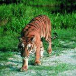 نمر 2019 معلومات النمور كاملة صور ميكس 28
