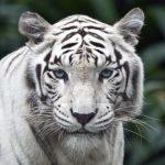 نمر 2019 معلومات النمور كاملة صور ميكس 29