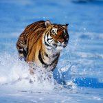 نمر 2019 معلومات النمور كاملة صور ميكس 3