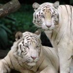 نمر 2019 معلومات النمور كاملة صور ميكس 30