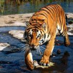 نمر 2019 معلومات النمور كاملة صور ميكس 33