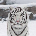 نمر 2019 معلومات النمور كاملة صور ميكس 34